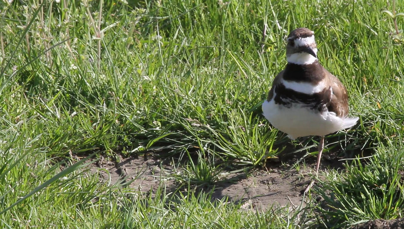 Kildeer video<br /> <br /> I whistled at him and perked him up =)