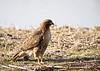 Hawk, Rough-Legged?<br /> Ridgefield Wildlife Refuge, Washington