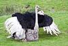 Ostriches mating!<br /> Wildlife Safari, Oregon