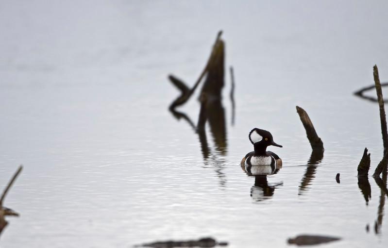 Duck, Merganser Male<br /> Ridgefield Wildlife Refuge, Washington