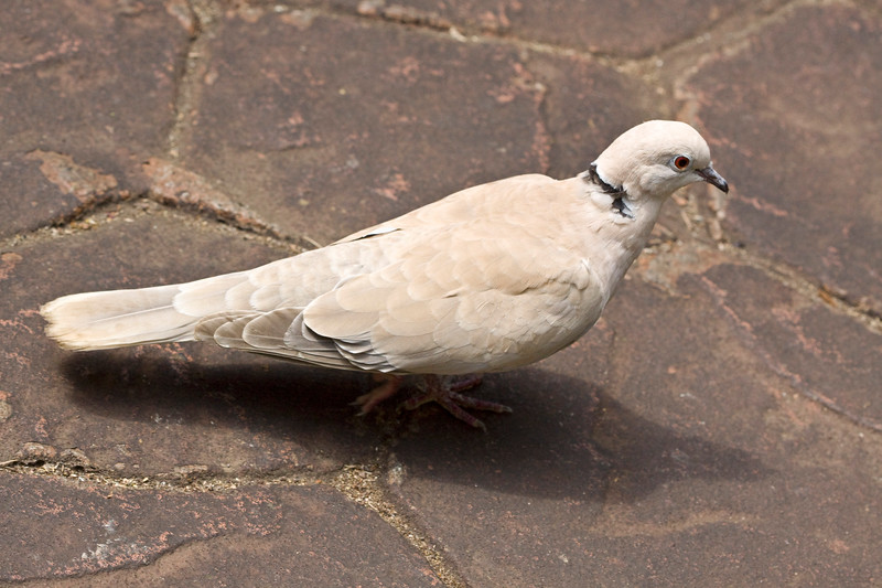 Dove, Ring-Necked?<br /> Butterfly Garden, Victoria, B.C.