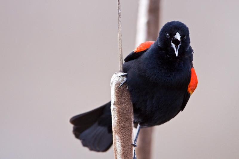 Blackbird, Red-Winged<br /> <br /> Ridgefield Wildlife Refuge, Washington