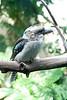 Kookaburra<br /> Seattle zoo