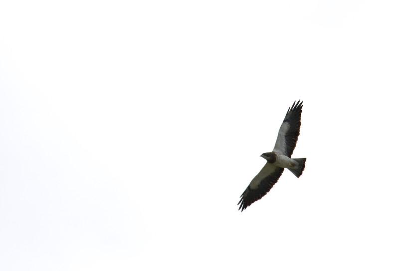 Hawk, Swainson's -- light phase<br /> <br /> Walla Walla, WA