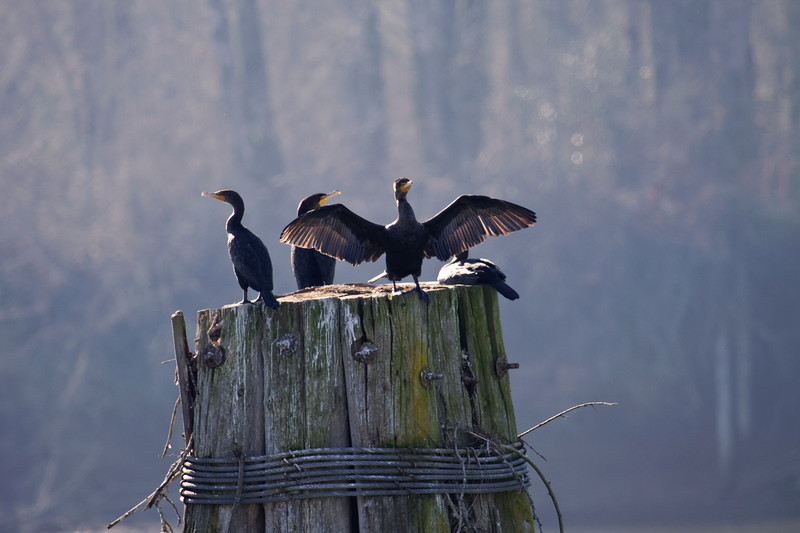 Cormorant, Double-crested (thank you, Guest!)<br /> Sauvie's Island, Oregon