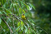 Goldfinch, American<br /> Vancouver, WA