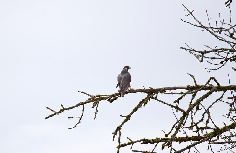 Falcon, Peregrine<br /> Ridgefield Wildlife Refuge, Washington