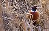 Pheasant - Ring-Necked<br /> <br /> Ridgefield, WA Wildlife refuge