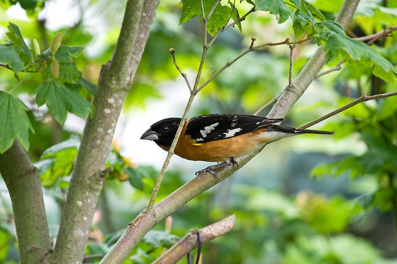 Grosbeak, Black-headed (male)