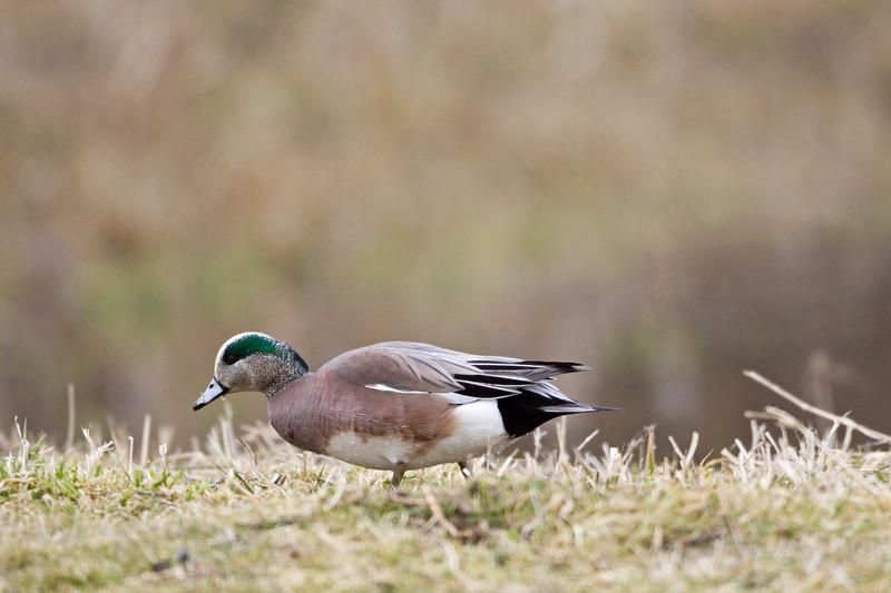 Duck, American Wigeon<br /> Ridgefield Wildlife Refuge, Washington