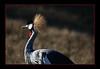 Crane, East African Crowned<br /> Wildlife Safari, Oregon