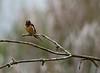 Swallow, Barn<br /> Ridgefield Wildlife Refuge, Washington