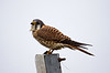 """Hawk, Kestrel I finally got a chance for a closeup of a kestrel!  But wouldn't you know it, the poor thing is soakin' wet.   Also in the <a href=""""http://synapped.smugmug.com/gallery/5335427_QNy8Z#759520025_XWzrH"""">Birds of Prey</a> gallery"""