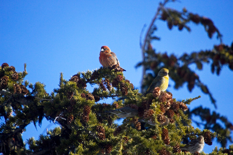 Crossbill, Common?<br /> <br /> Government Camp, Oregon (Mt. Hood ski lodge)<br /> <br /> adult male on left, juvenile male on right