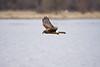 Harrier, Northern - Female