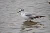 Gull, Bonaparte's? Ross's? juvenile?<br /> Cannon Beach, Oregon