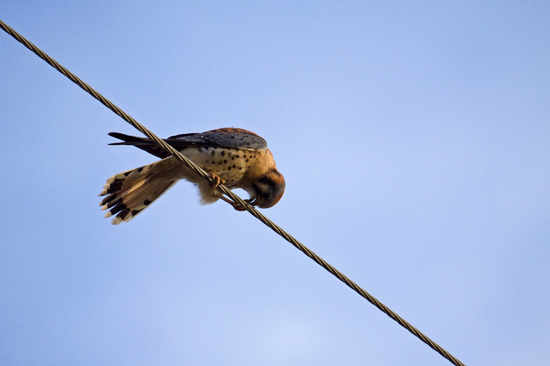 """Hawk, Kestrel  This is the the way I most often see the elusive kestrel!  Also in the <a href=""""http://synapped.smugmug.com/gallery/5335427_QNy8Z#717230501_J99Xf"""">Birds of Prey</a> gallery"""
