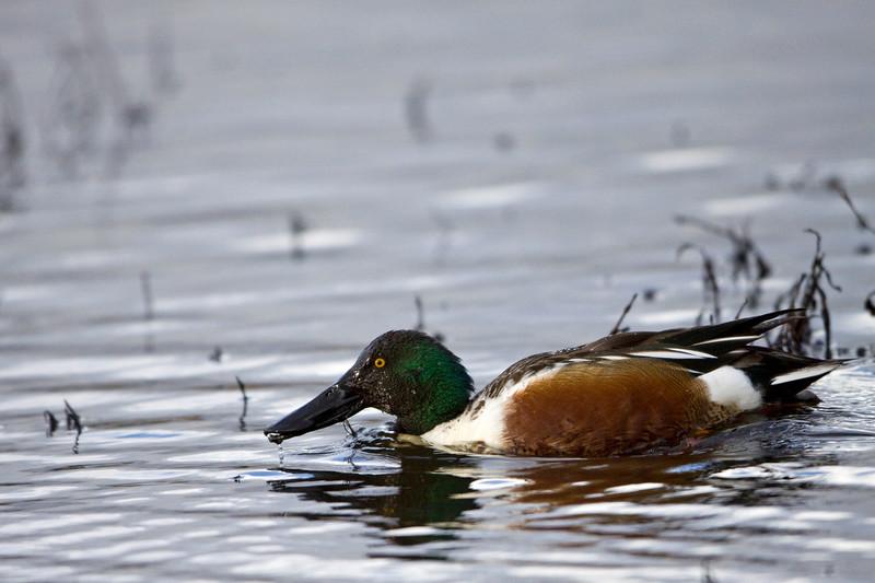 Duck, Northern Shoveler<br /> Ridgefield Wildlife Refuge, Washington