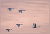 Swan, Tundra<br /> Ridgefield Wildlife Refuge, Washington