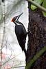 Woodpecker, Pileated<br /> <br /> Portland, Oregon