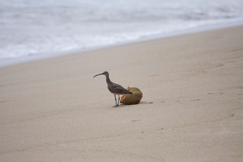 Where To?<br /> Whimbrel