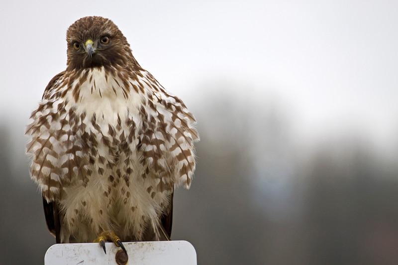 Hawk, Red-Tailed<br /> Ridgefield Wildlife Refuge, Washington
