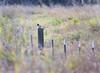 Kingfisher, Belted female<br /> Ridgefield Wildlife Refuge, Washington
