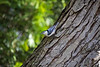 Nuthatch, White-Breasted<br /> <br /> Takoma Park, MD
