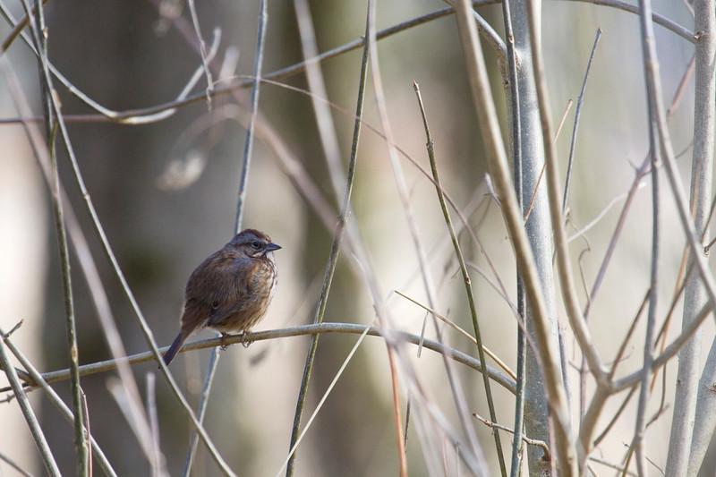 Hidden Beauty<br /> <br /> House Sparrow???  Song Sparrow???