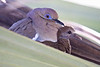 Good Morning Doves!<br /> White-winged dove and her baby sitting in a palm tree in Mazatlan.  They just sat there staring like this, unmoving.