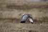"Harrier, Northern -- Male<br /> <br /> Often called the ""gray ghost.""  Ridgefield Wildlife Refuge, Washington"
