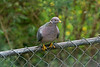 Pigeon, Band-Tailed