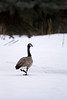 Goose, Canada<br /> Sandpoint, ID