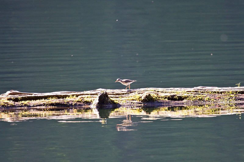 Sandpiper, Spotted (thank you, Guest!)<br /> Battle Ground Lake, WA