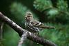 Pine Siskin<br /> Washington