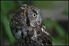 Owl, Barred<br /> Injured, in captivity at Oregon zoo
