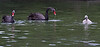 Swans, Black<br /> Vancouver, WA