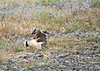 Kildeer -- broken wing distraction routine to keep us away from her nest!<br /> <br /> Walla Walla, WA