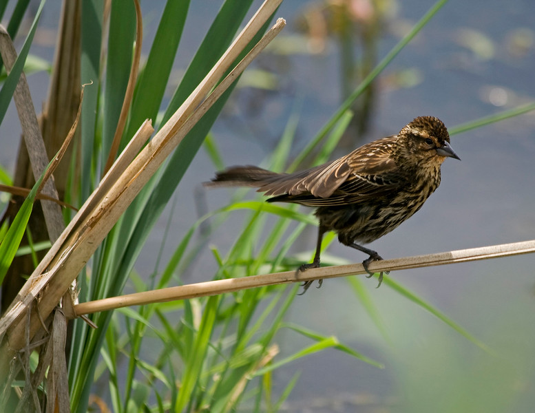 Blackbird, Red-Winged - Female<br /> <br /> Ridgefield, WA