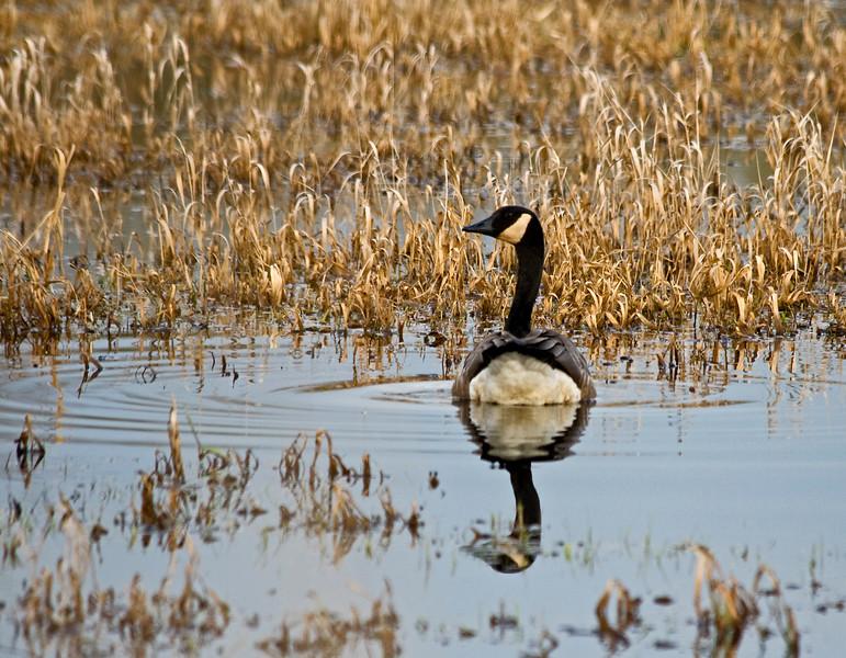 Canada Goose Tale!