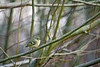Ruby Crowned Kinglet<br /> <br /> Seen at Vancouver, Washington CASEE botanical garden