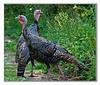 Turkey, Wild<br /> Minneapolis, MN