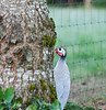 Guineafowl<br /> Washington -- running around near my house, possibly escaped from someone's collection?