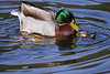 Duck, Mallard, mating<br /> Battle Ground Lake, WA