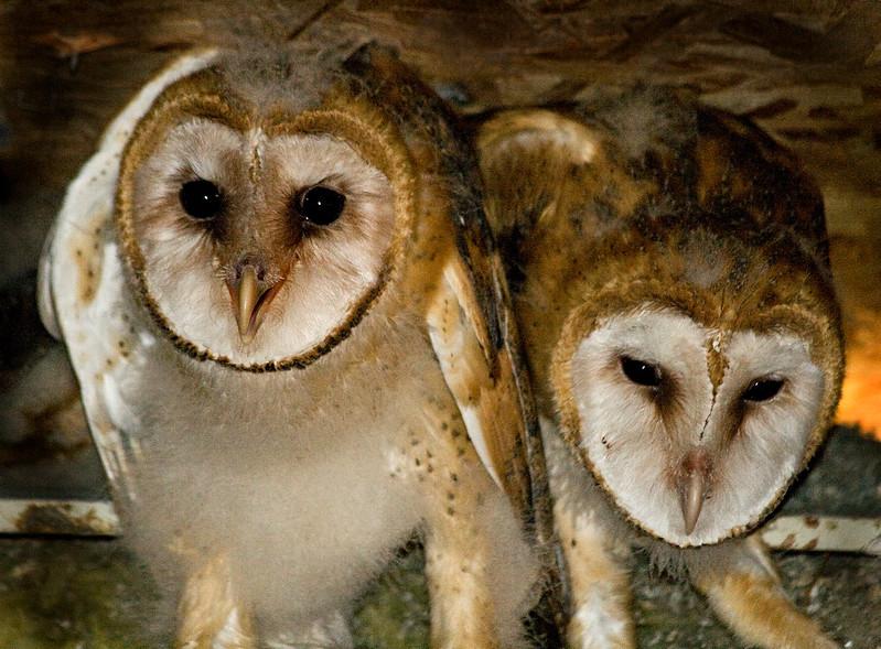 Owl, Barn - Chicks<br /> In a friend's attic, Walla Walla, WA