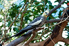 Parrot family, Cockatiel<br /> Seattle or Oregon zoo