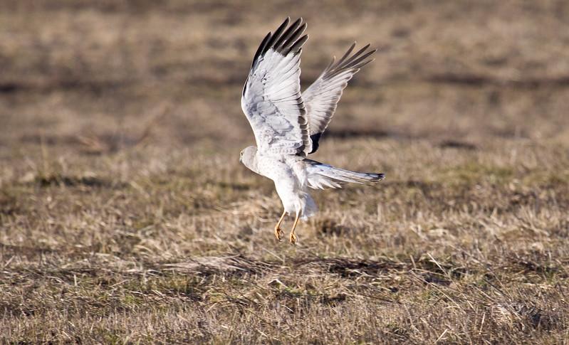 Harrier, Northern (Male)<br /> Ridgefield Wildlife Refuge