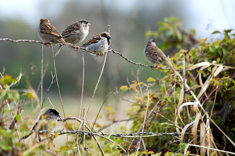 Sparrow Convention<br /> Golden-Crowned Sparrows