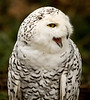 Owl, Snowy<br /> Injured, in captivity at NW Trek near Puyallup, WA