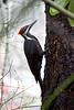 Pileated Woodpecker<br /> <br /> Seen in Portland, Oregon in trees by the zoo.